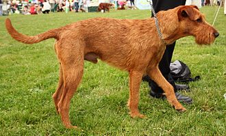 Irish Terrier - An Irish Terrier with an un-docked tail
