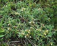 Teucrium montanum1
