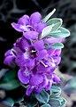 Texas Sage -- Leucophyllum frutescens.jpg