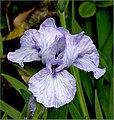 The Iris (16) (8096401267).jpg