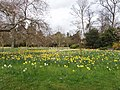 The Wilderness with daffodils, Hampton Court - geograph.org.uk - 745025.jpg