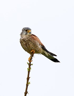 The common kestrel (Falco tinnunculus).jpg