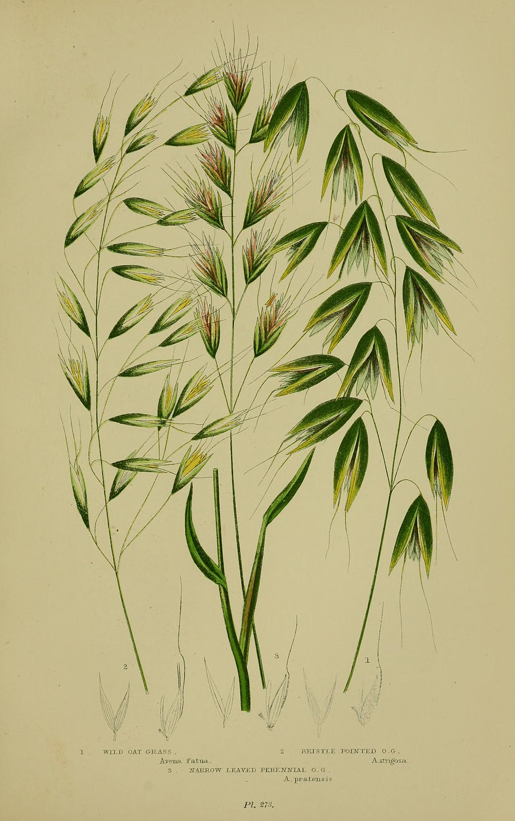 The flowering plants, grasses, sedges, and ferns of Great Britain (Pl. 273) BHL12022206