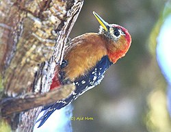 The rufous-bellied woodpecker in dense forest of Himalayas.jpg
