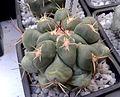Thelocactus hexaedrophorus 1e.jpg