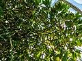 Theobroma cacao capsule and inflorescences Tropical Dome Brisbane Botanic Gardens Mt Coot-tha L1080363.jpg