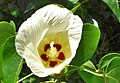 Thespesia populnea (Inflorescens).jpg