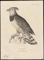 Thrasaëtus harpyia - 1700-1880 - Print - Iconographia Zoologica - Special Collections University of Amsterdam - UBA01 IZ18100291.tif