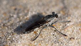Three-banded Robber Fly.jpg