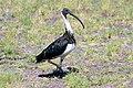 Threskiornis spinicollis -Bunbury, Western Australia, Australia-8.jpg