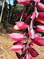 Thunbergia coccinea - Scarlet Clock Vine 06.JPG