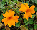Thunbergia gregoryi, an Orange Clock Vine (9135274051).jpg