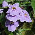 Thunbergia laurifolia-IMG 6321.jpg