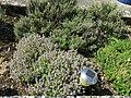 Thymus vulgaris in garden (2018) 4.jpg