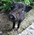 Tibetan Pig Closeup (43114054).jpeg