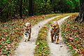 Tiger & Tigress - Kanha National Park.jpg