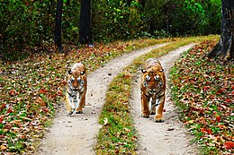 Tiger & Tigress - Kanha National Park.jpg
