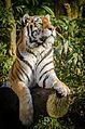 Tiger (16442493809).jpg