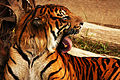 Tigers Tongue (3846662759).jpg