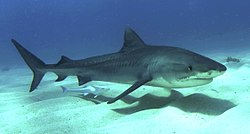 Profile photo of shark, accompanied by لشكية, swimming just above a sandy seafloor