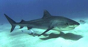 Ein junger Tigerhai (Galeocerdo cuvier)