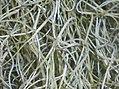 Tillandsia usneoides 2016-05-31 1852.jpg