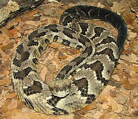 A coiled rattlesnake tan with black bands