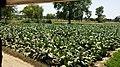 Tobacco plants in Kalekay Nagra, Punjab, Pakistan.jpg
