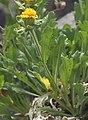 Tonestus peirsonii Inyo tonestus one stem-leaf-flower.jpg