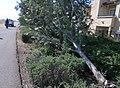Toppled tree on Elk Grove levee (8465532127).jpg