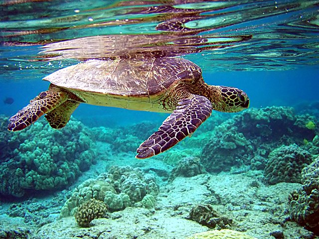 Meeresschildkröte aus der Sicht eines Tauchers