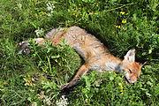 Toter Fuchs am Strassenrand.jpg