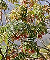 Touch-Me-Not (Melianthus comosus) flowers (32269334280).jpg