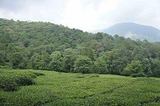 Kangra tea - Image: Towa 1