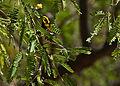 Townsend's Warbler Madera Canyon.jpg