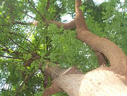 Tree From Below.JPG