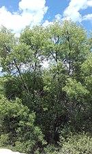 Tree near colmenar Viejo.jpg