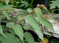 Trema orientalis (Pigeon Wood) W2 IMG 2237