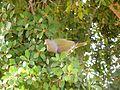 Treron calvus glaucus, in vyeboom, g, Pretoria.jpg