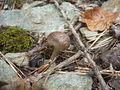 Tricholoma cingulatum, Mattersburger Wald 2.jpg