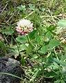 Trifolium hybridum USDA.jpg