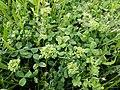 Trifolium repens (subsp. repens) sl13.jpg