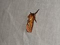 Triodia sylvina (36007974610).jpg