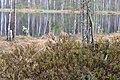 Troianivka Manevytskyi Volynska-Kruchene ozero nature reserve-Rhododendron tomentosum-1.jpg