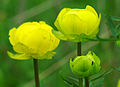 Trollius europaeus - flowers.jpg