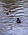 Tufted Ducks (Aythya fuligula) - Oslo, Norway 2020-10-18.jpg