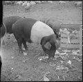 Tule Lake Relocation Center, Newell, California. A close up of hogs eating garbage at the temporar . . . - NARA - 536368.tif