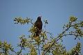Turdus merula Eurasian blackbird 02 ms.jpg