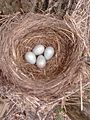Turdus merula nest 4 eggs.jpg