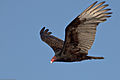 Turkey Vulture (Cathartes aura) -in flight.jpg